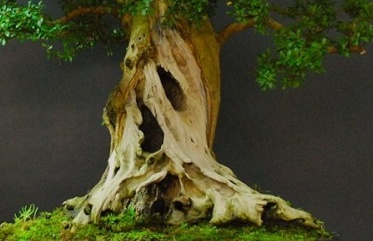 Ficus Microcarpa with huge uros and hollow trunk? 18969511