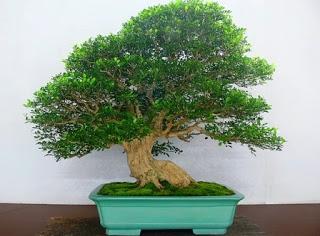 murraya paniculata        mock orange Bonsai10