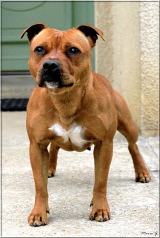 """Chiots Staffordshire Bull Terrier LOF """"Des Anges de Wilhelm"""" - 2014 10025411"""