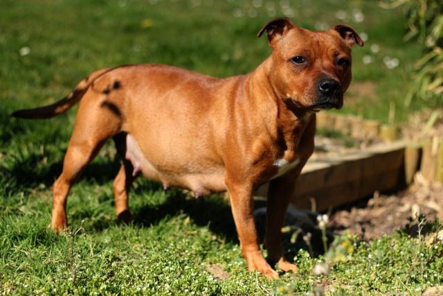 """Chiots Staffordshire Bull Terrier LOF """"Des Anges de Wilhelm"""" - 2014 235"""