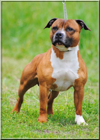 """Chiots Staffordshire Bull Terrier LOF """"Des Anges de Wilhelm"""" - 2014 53610511"""