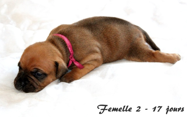 "Chiots Staffordshire Bull Terrier LOF ""Des Anges de Wilhelm"" - 2014 - Page 3 Femell11"
