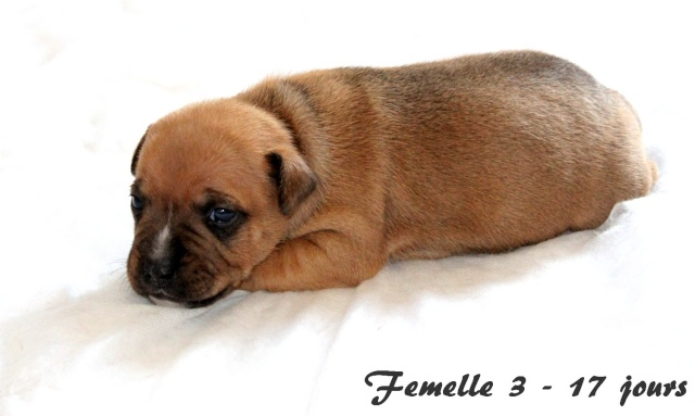 "Chiots Staffordshire Bull Terrier LOF ""Des Anges de Wilhelm"" - 2014 - Page 3 Femell12"