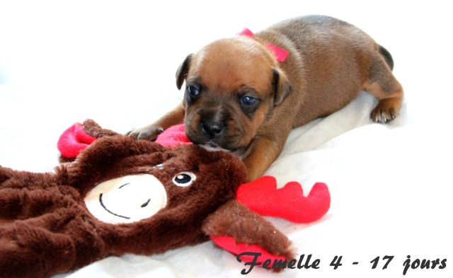 "Chiots Staffordshire Bull Terrier LOF ""Des Anges de Wilhelm"" - 2014 - Page 3 Femell13"