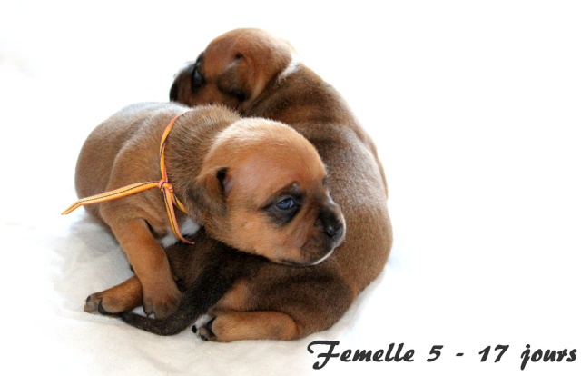 "Chiots Staffordshire Bull Terrier LOF ""Des Anges de Wilhelm"" - 2014 - Page 3 Femell14"
