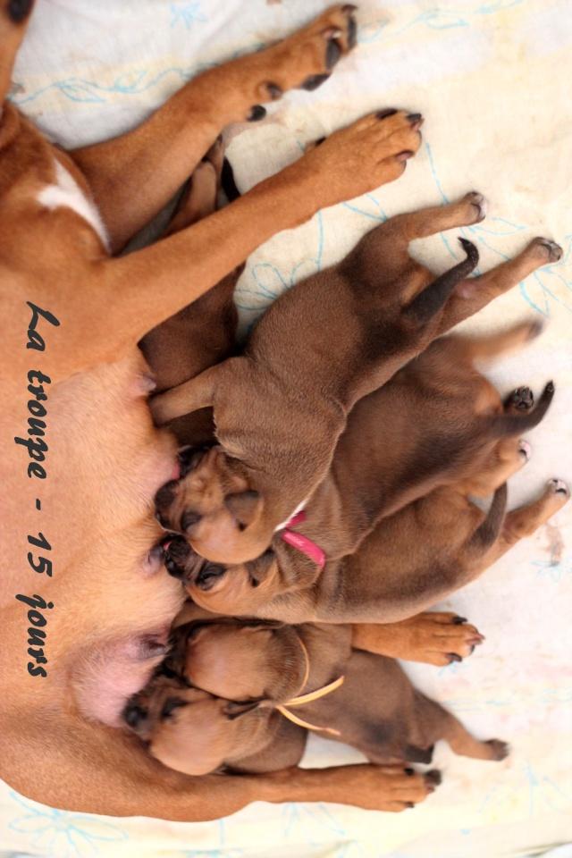 """Chiots Staffordshire Bull Terrier LOF """"Des Anges de Wilhelm"""" - 2014 - Page 2 La_tro13"""