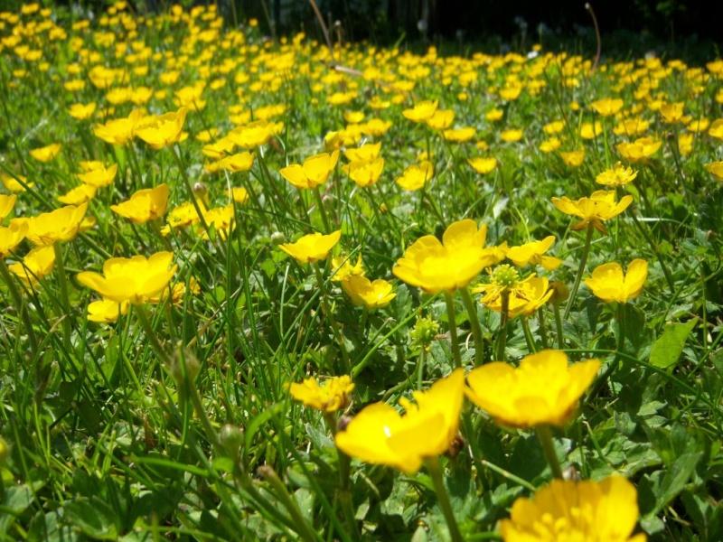Peut on donnez des boutons d'or aux pogo ? (Plantes, fleurs)  63369210