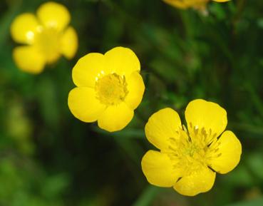 Peut on donnez des boutons d'or aux pogo ? (Plantes, fleurs)  Bouton10