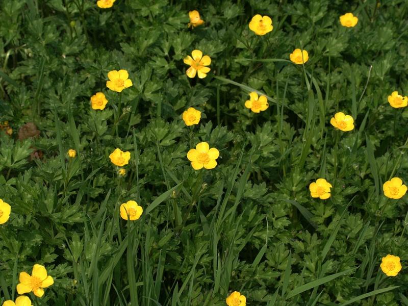 Peut on donnez des boutons d'or aux pogo ? (Plantes, fleurs)  Ranunc10