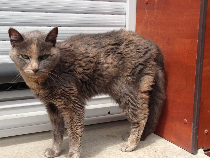 Trouvée aux Pont Jumeaux à Toulouse - chatte écaille diluée (=grise traces de roux) Chatpo10