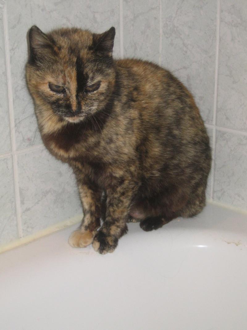 Trouvée chatte écaille âgée - proche rond point de la fontaine lumineuse à Colomiers E1910
