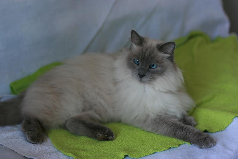 Perdu chat beige typé siamois poils longs à Pibrac Nestly10