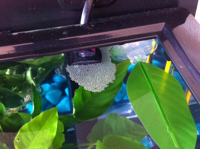 [ PHOTOS ] Les nids de bulles de nos poissons - Page 4 Nid_de10