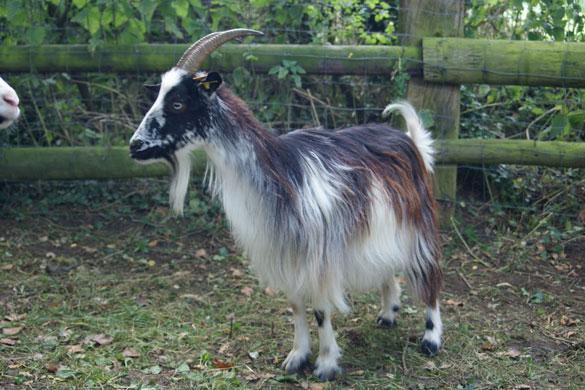 Les races de chèvres Standa10