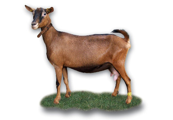 Les races de chèvres Standa12
