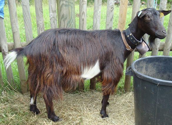 Les races de chèvres Standa13
