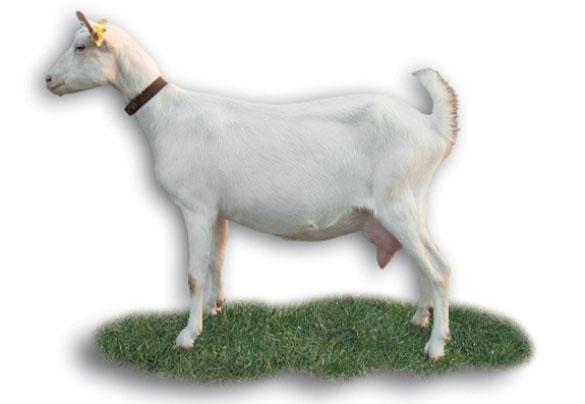 Les races de chèvres Standa14