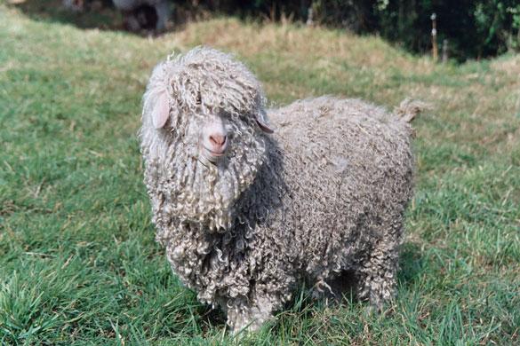 Les races de chèvres Standa15