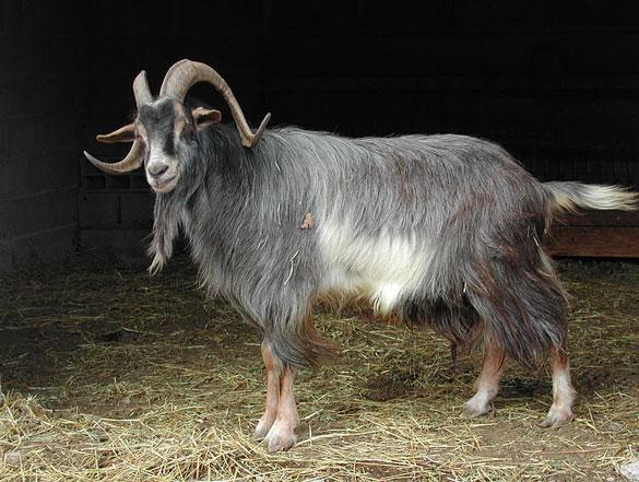 Les races de chèvres Standa16