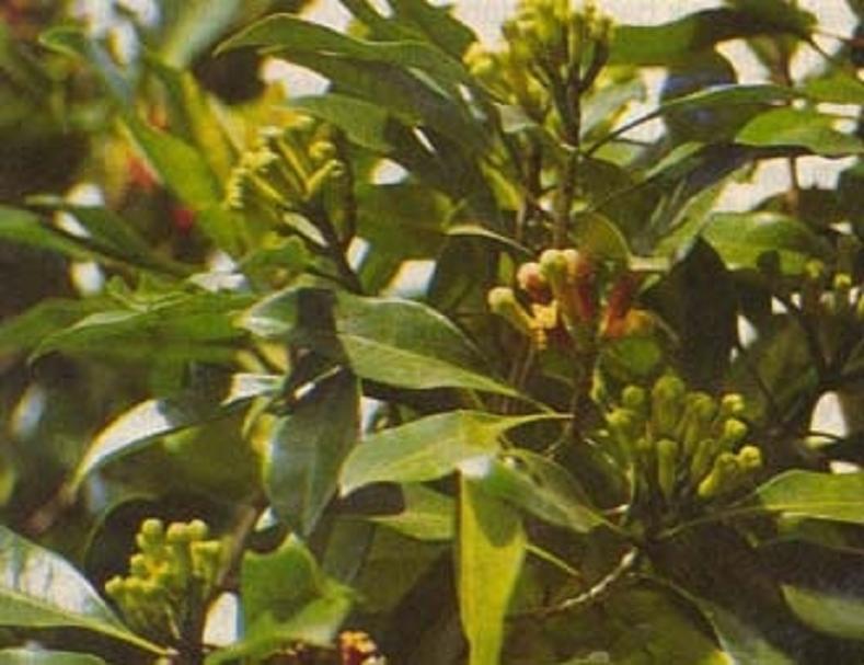 القَـَرنْـفُـل ( Syzygium aromaticum)    151