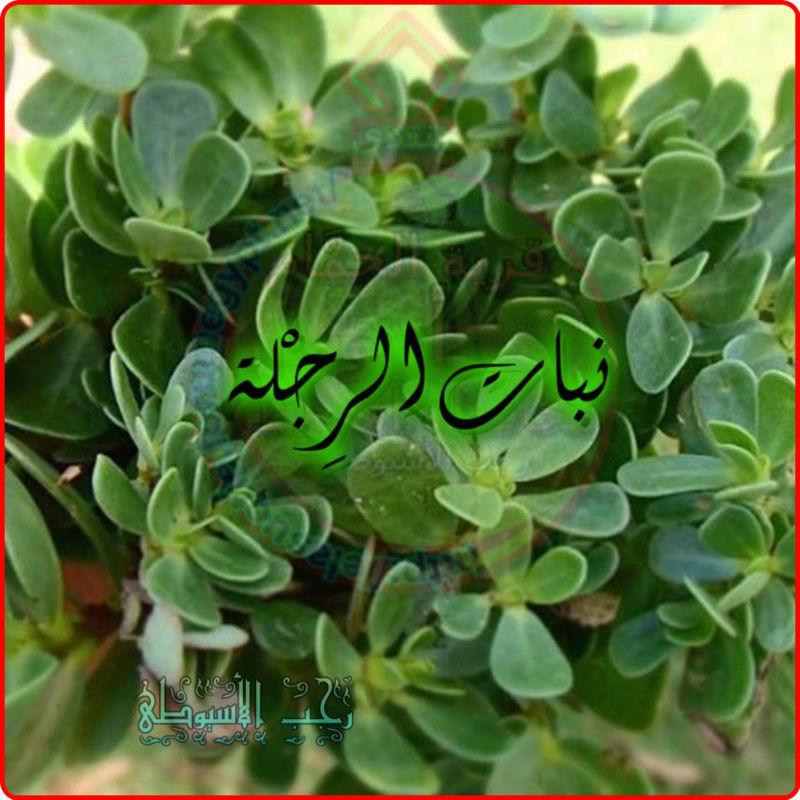 أهم فوائد نبات الرِجْلة . 159