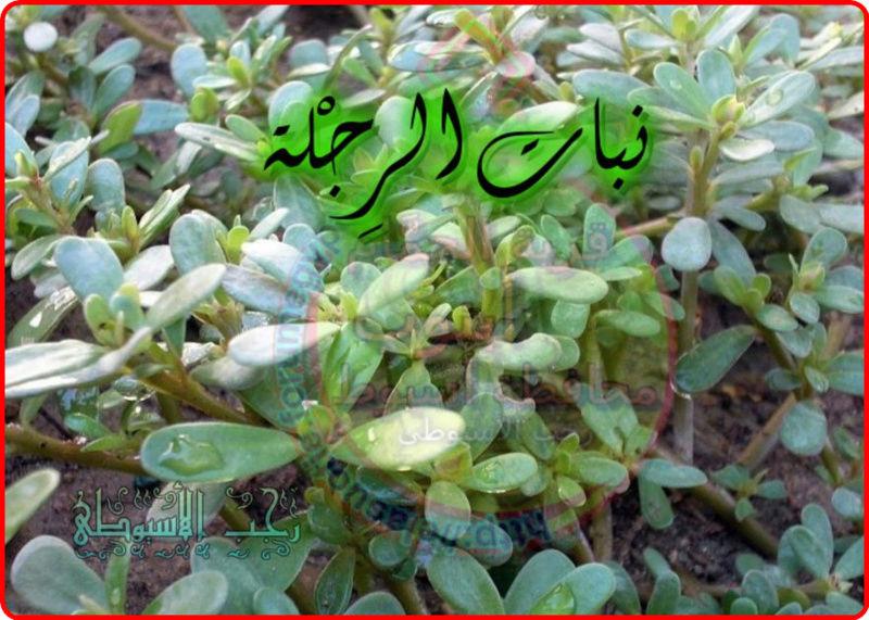 أهم فوائد نبات الرِجْلة . 366