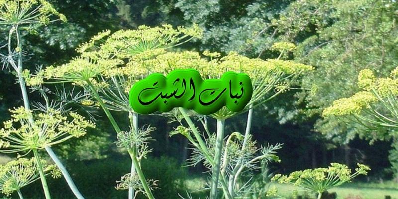كل ما يتعلق بنبات الشبت وفوائدة. 3eshbe10