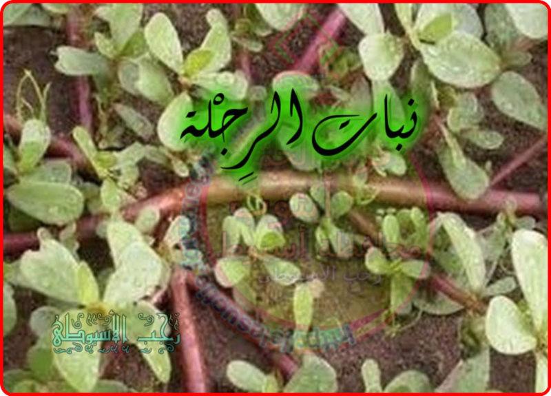 أهم فوائد نبات الرِجْلة . 473
