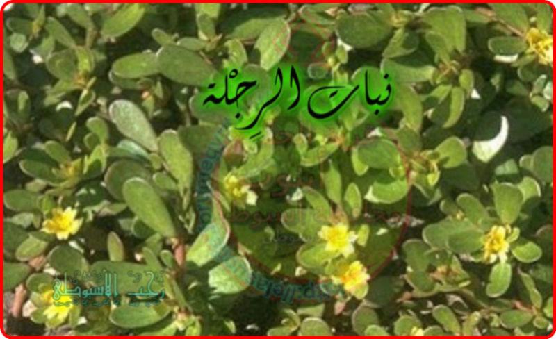 أهم فوائد نبات الرِجْلة . 554
