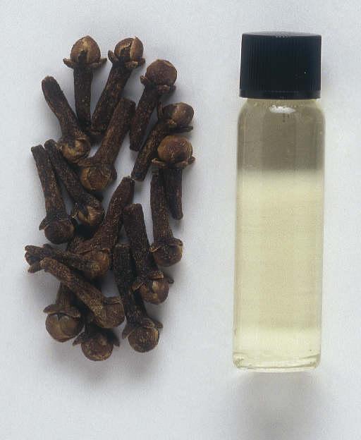 القَـَرنْـفُـل ( Syzygium aromaticum)    57328310