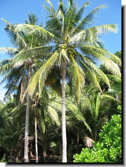 ◘◘◘ جوز الهند ◘◘◘ Palm-c10