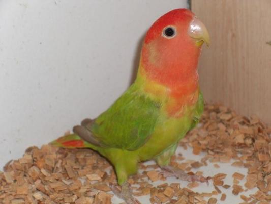 petit opaline face rouge aile grise Cinnam10