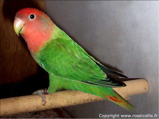 petit opaline face rouge aile grise Opalin10