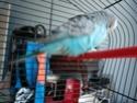 Trouvée perruche anglaise à Carros (06) P1230113