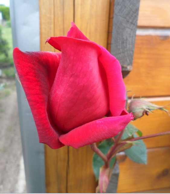 Roses et rosiers 2017  Captur17