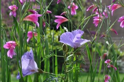 Gladiolus communis subsp. byzantinus 004_co10