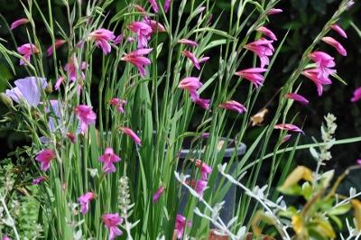 Gladiolus communis subsp. byzantinus 005_4010