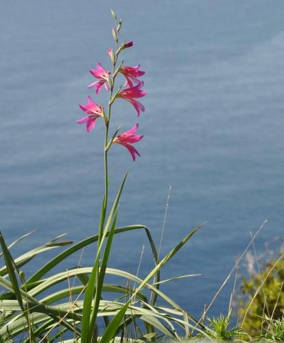 Gladiolus communis subsp. byzantinus 086_4110