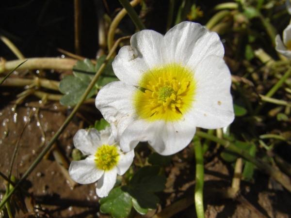 Ranunculus aconitifolius - renoncule à feuilles d'aconit 10_04r11