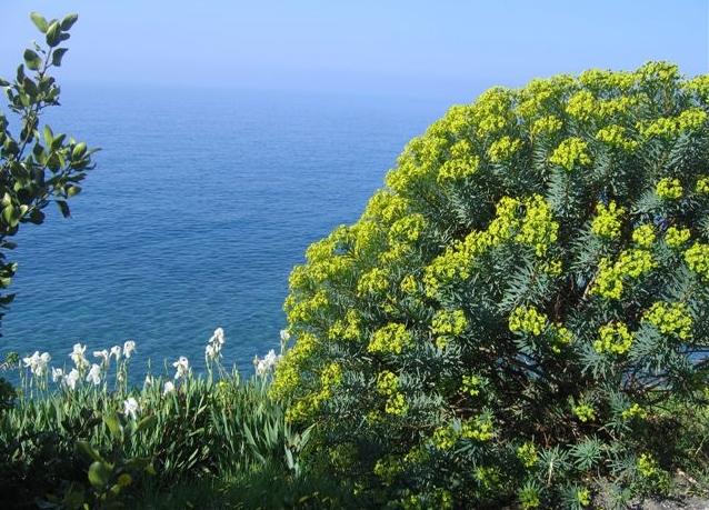 Euphorbia dendroides - euphorbe arborescente Avril_13