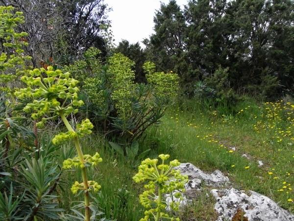 Euphorbia characias - Page 2 Avril_14