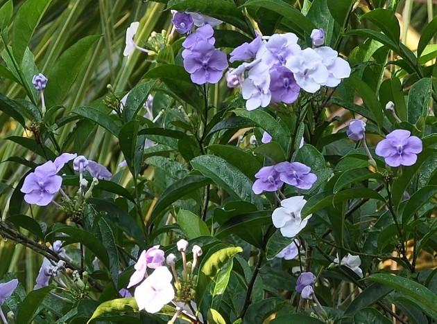ces quelques fleurs de nos jardins Brunfe10
