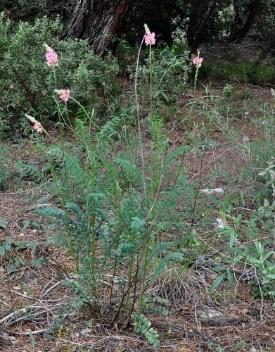 Onobrychis viciifolia - sainfoin, esparcette Copy_o11