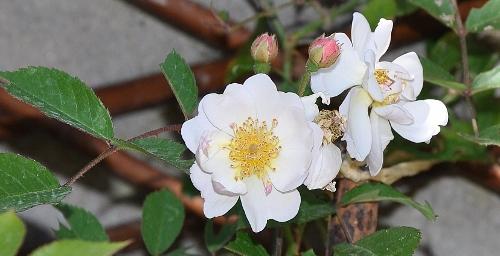 tous ces rosiers que l'on aime - floraisons - Page 2 Dsc_0516