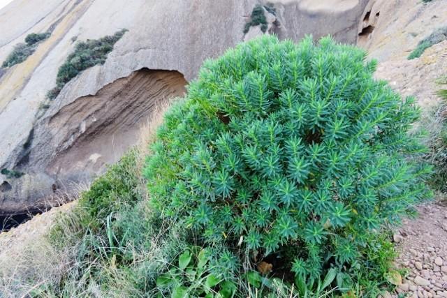 Euphorbia dendroides - euphorbe arborescente Img_3810