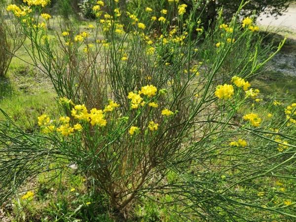 coronilla - Coronilla juncea - coronille à branches de jonc  Img_4110