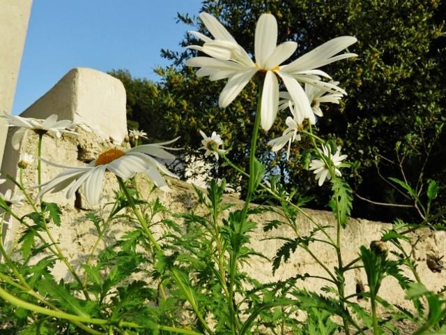 Leucanthemum vulgare - grande marguerite Img_4115