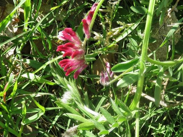 Vicia benghalensis - vesce du Bengale Img_4514