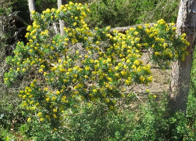 Genista linifolia - genêt à feuilles de lin Img_4618