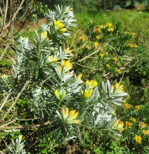 Genista linifolia - genêt à feuilles de lin Img_4619